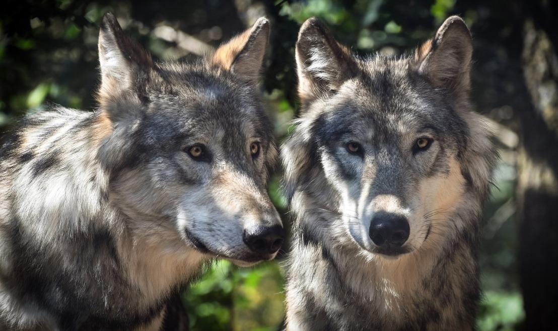 Les parcs pour voir les loups enFrance